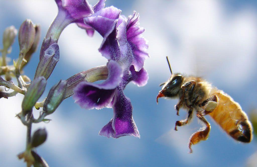 abeille-1_jpg